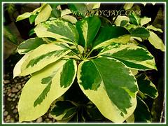 Schefflera arboricola 'Janine' with gorgeous fingers-like ...