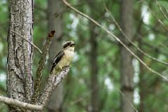 Kookaburra Sitting in a Tree