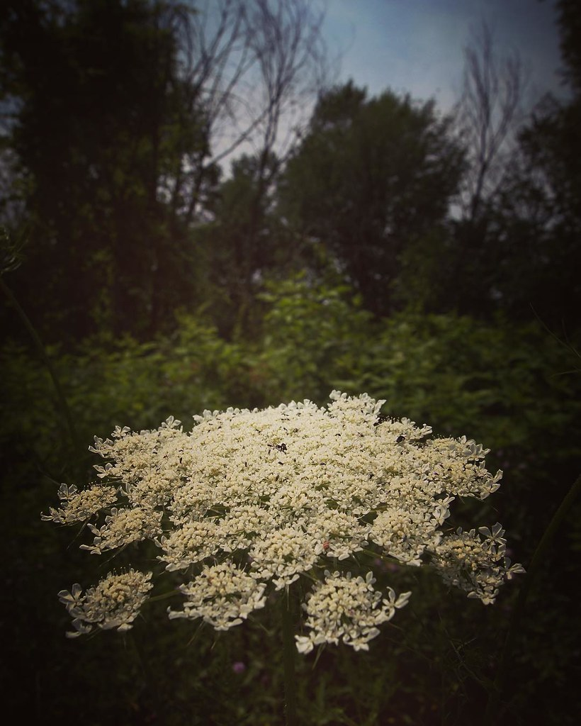 Queen Anne\'s Lace #forest #ohio #plants #flowers #garden ...