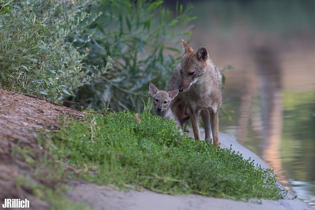 family life at sunset - golden jackals, wilder Goldschakal, Canis aureus syriacus @ Tel Aviv, Israel 2016, June, urban nature
