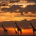 Maasai Mara at Sunset by Chris He - 2013