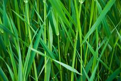 flower(0.0), artificial turf(0.0), lawn(0.0), field(1.0), leaf(1.0), grass(1.0), plant(1.0), wheatgrass(1.0), green(1.0), meadow(1.0), plant stem(1.0), grassland(1.0),
