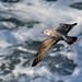 Herring Gull at Strumble Hd