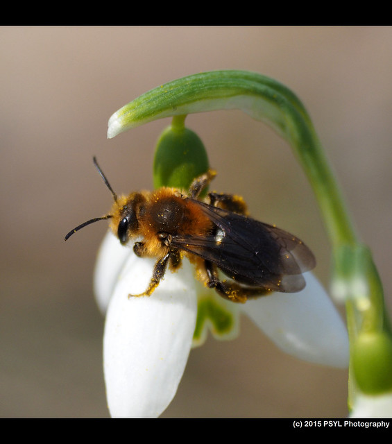 Andrena sp. female on Snowdrops (Galanthus nivalis)