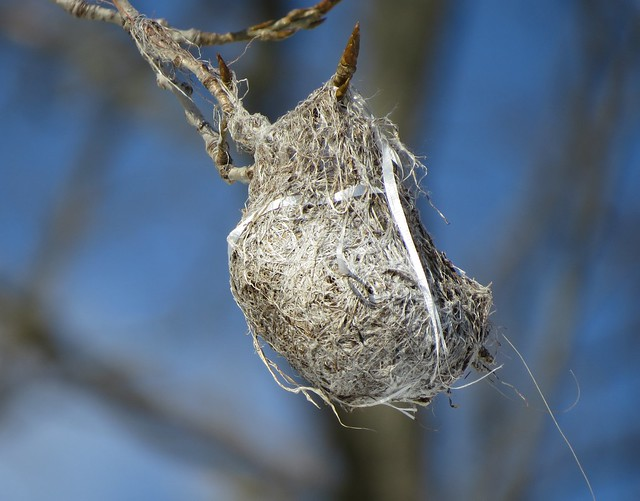 Weathered Oriole Nest