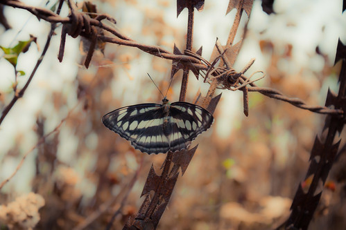 Butterfly on barbed wire- Nagarkot, Nepal