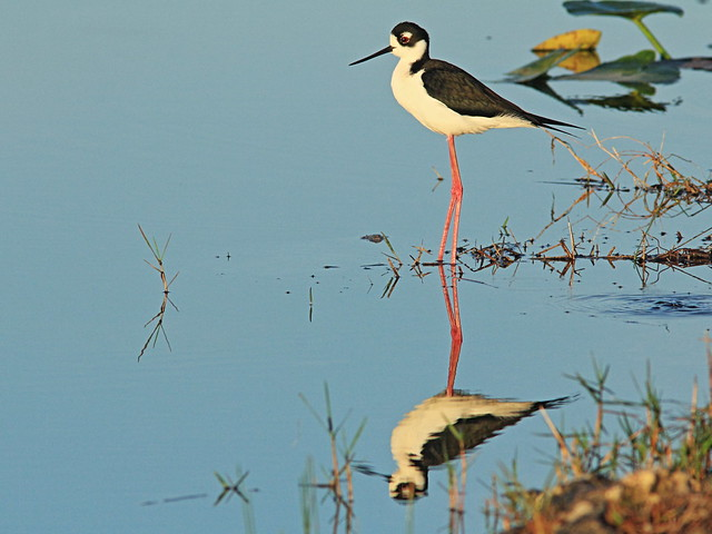 Black-necked Stilt 01-20150315