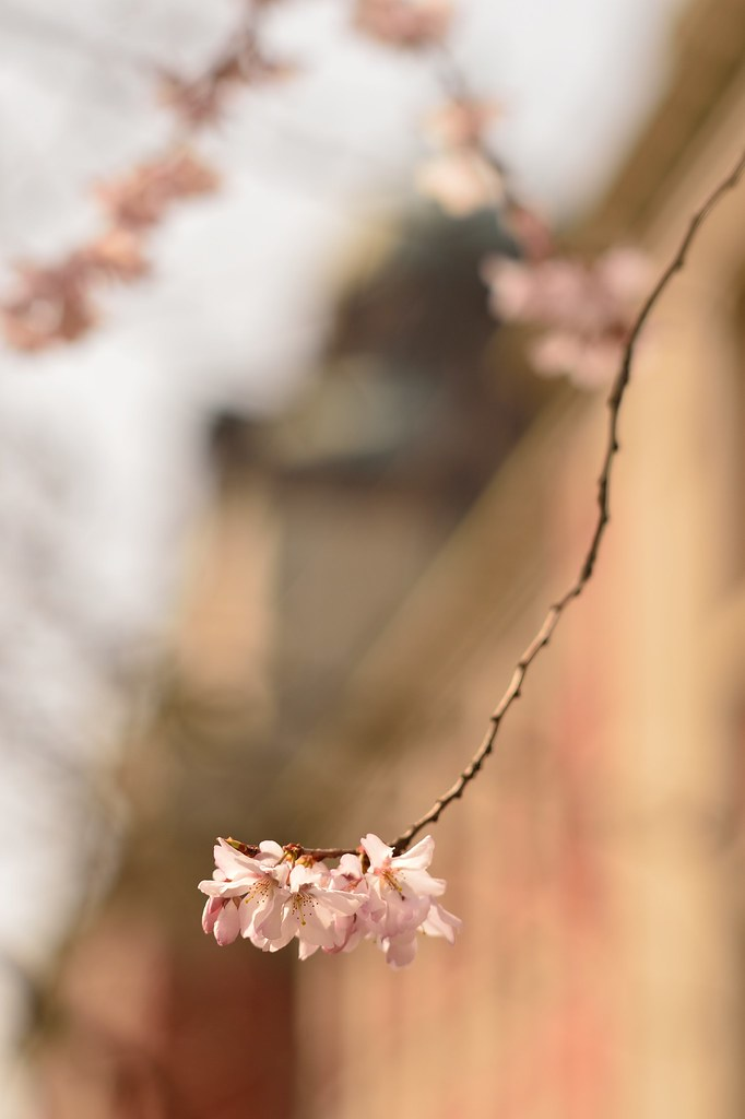 """Early cherry blossoms(""""Tokaizakura"""") in Nagoya City Archives No.3."""