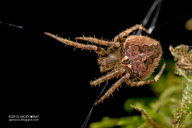 Orb web spider (Neoscona sp.) - DSC_5092