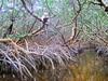 Mangrove Leopard