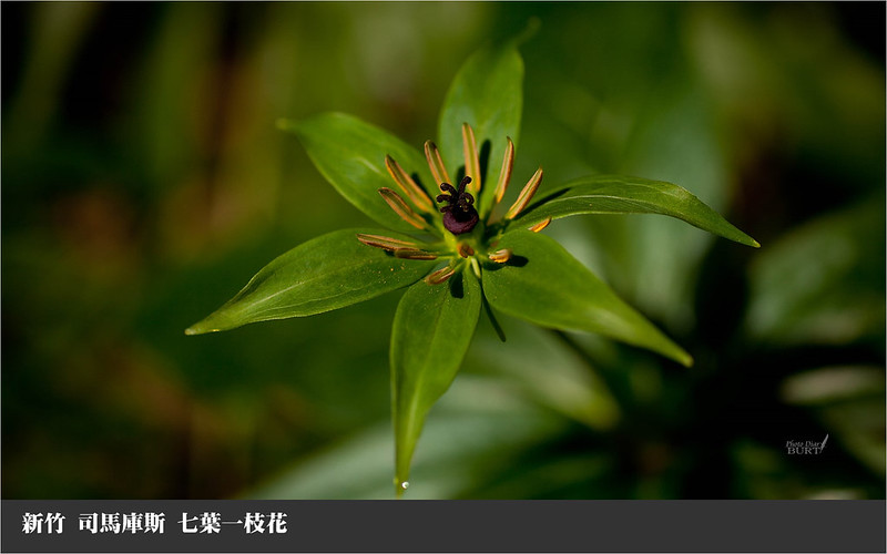 七葉一枝花