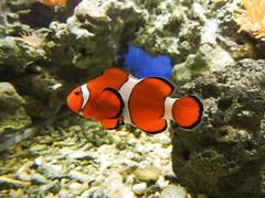 coral reef, anemone fish, fish, coral reef fish, marine biology, fauna, freshwater aquarium, underwater, reef,