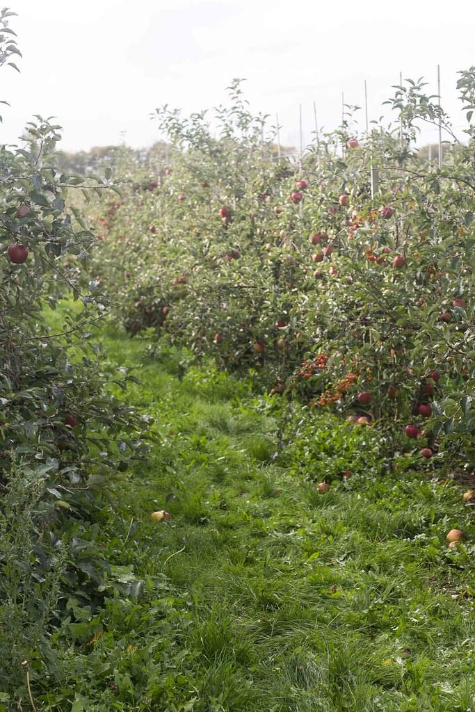 Æblemost (21)