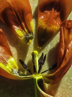 Tulip 6777