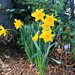 078/365 - 19 March 2015 - Weekly Daffodils by Dylan [age5]