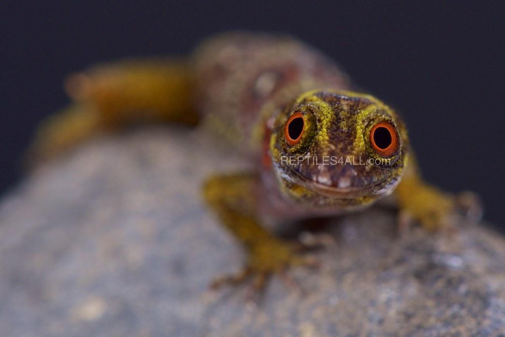 Union Island gecko (Gonatodes daudini)