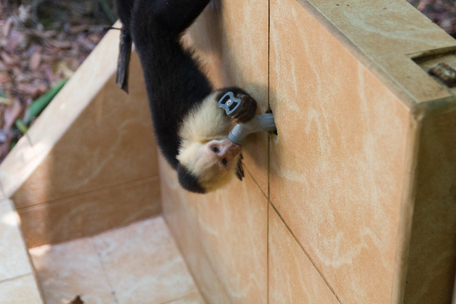 Capuchin monkey drinking from the tap