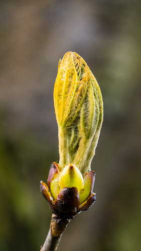 Horse chestnut leaves about to open