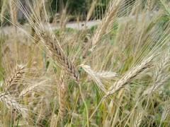 grass(0.0), food(0.0), phragmites(0.0), emmer(1.0), hordeum(1.0), prairie(1.0), agriculture(1.0), triticale(1.0), einkorn wheat(1.0), rye(1.0), food grain(1.0), field(1.0), barley(1.0), wheat(1.0), plant(1.0), crop(1.0), cereal(1.0), grassland(1.0),