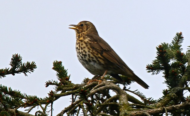 IMG_2349 Song Thrush