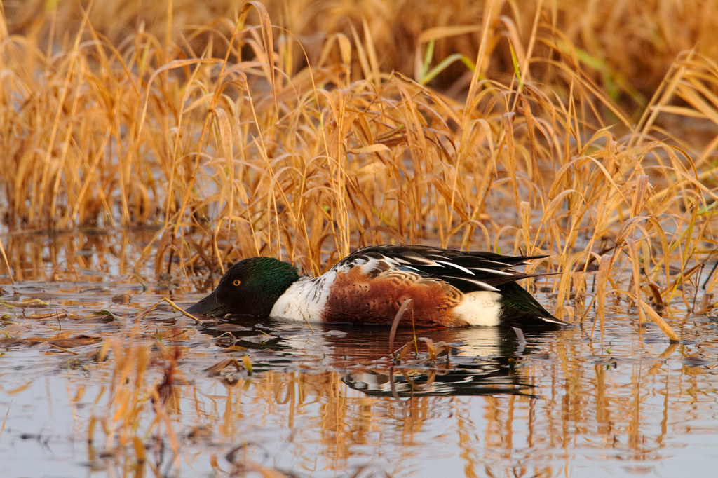A male northern shoveler feeds in the shallows of Canvasback Lake