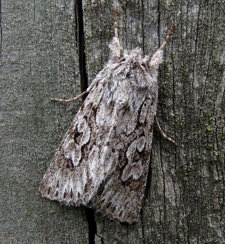 Early Grey Xylocampa areola Tophill Low NR, East Yorkshire April 2015