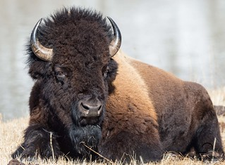Big Boy Bison Bull