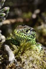 HolderSand Lizard
