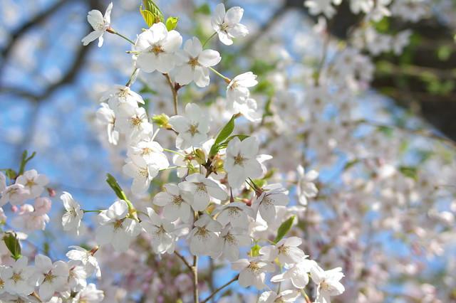 20160508手宮公園の桜_06