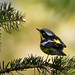 Magnolia Warbler in the pines by rmikulec