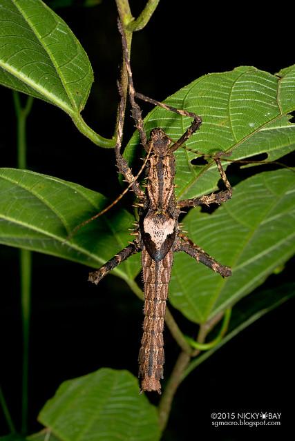 Stick insect (Phasmatodea) - DSC_3535