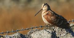 Woodcock (Scolopax rusticola)