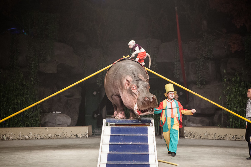 Performance of a monkey with a bleeding hippopotamus Hangzhou Safari Park, China