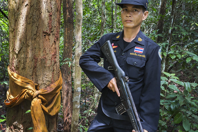Siam rosewood tree with forest guard