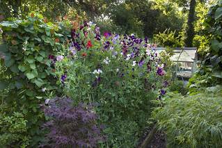 The summer joy of runner beans and sweet pea flowers.