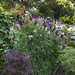 The summer joy of runner beans and sweet pea flowers. by Four Seasons Garden