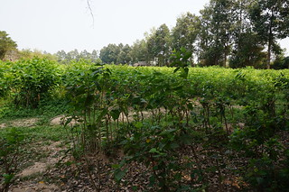 Mulberry trees at the silk farm