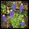 #bluebonnets in the backyard! #Texas #Texan #ighouston #wildflowers #spring #houston