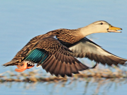 Mottled Duck in flight 2-20150330
