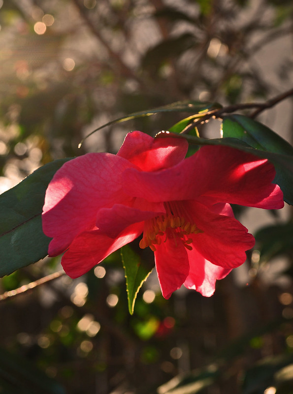 Camellia japonica 'Crimson Candles' (2)