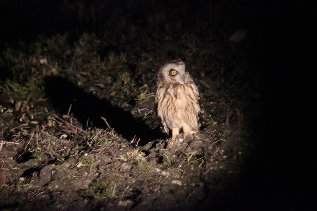 Short-eared Owl - Estonia