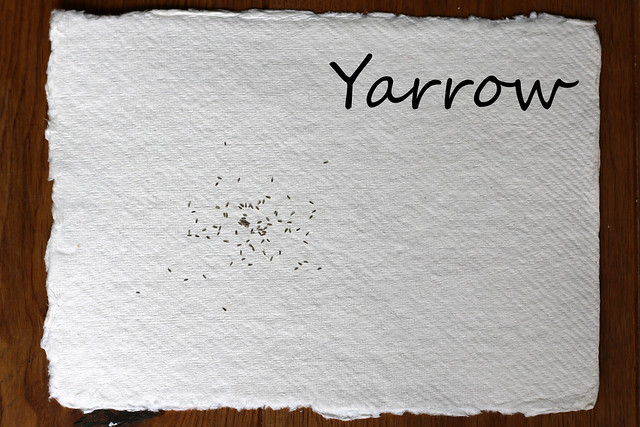 Yarrow Seeds