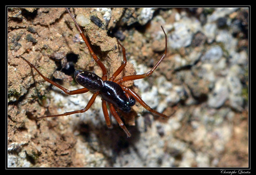 Neriene clathrata mâle