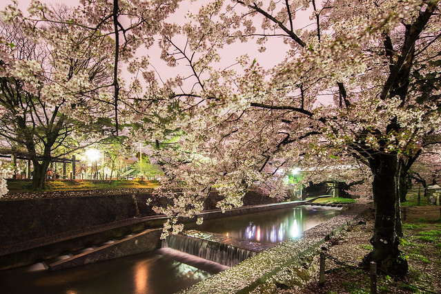 Sakura along Shukugawa at night