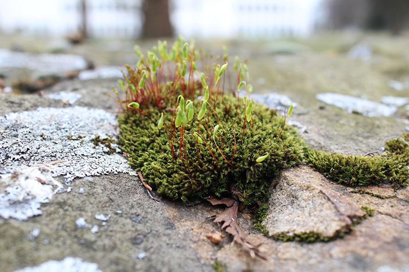 Moos blühend auf einem Stein