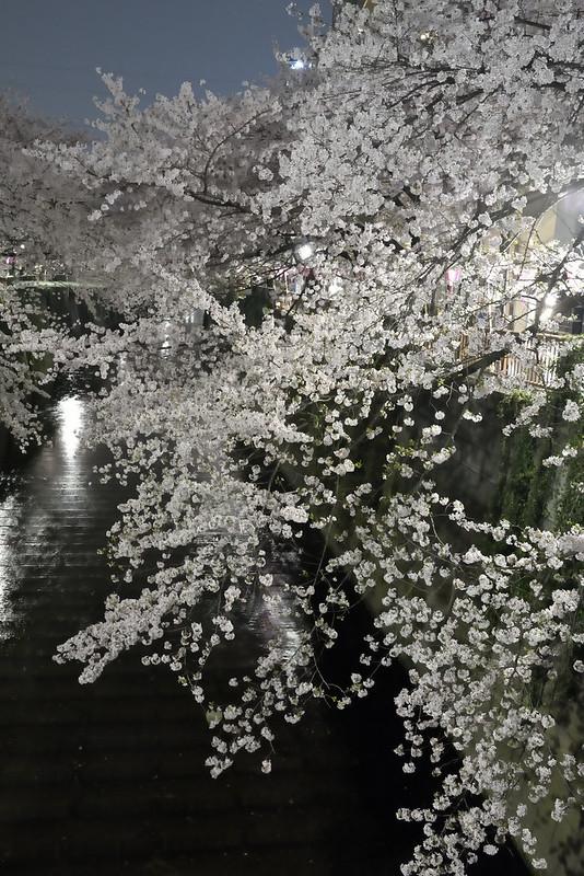 目黒川の早朝桜