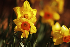 Daffodils Hiding from the Sun