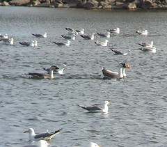 Swan Geese (domestic type)