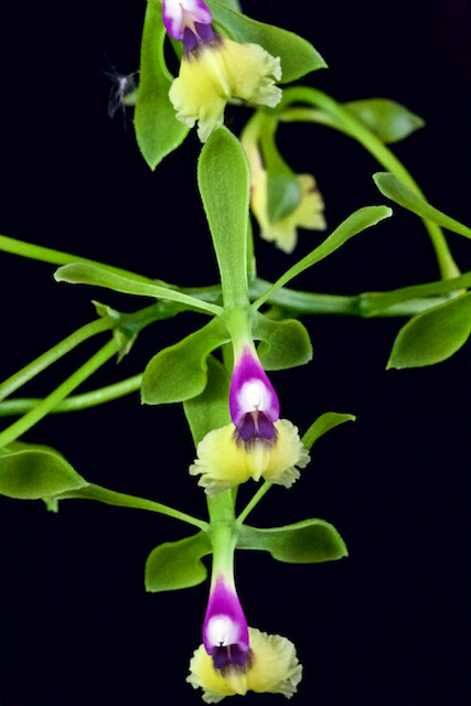 Epidendrum butterpatty 17058863437_1460cc6be8_z