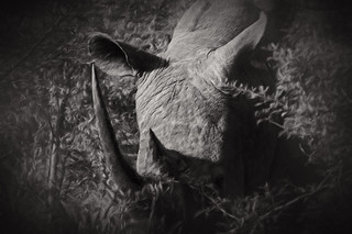 rhino head black and white arty
